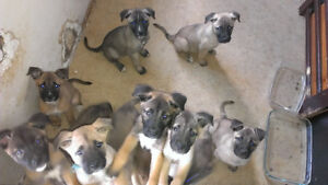 Large Breed Puppies!