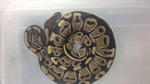 Two normal male ball pythons  Peterborough Peterborough Area image 4