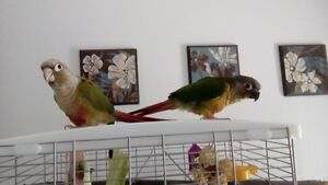handled and trained conures