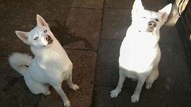Siberian husky huskies for sale