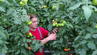 Produce Packers Needed in Leamington