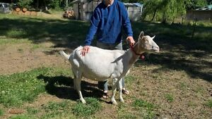 Very Nice Goat Herd For Sale