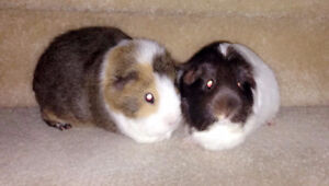 2 Female Guinea Pigs in Need for a Loving Home