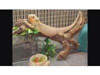 Bearded dragon gecko tegu reptile rescue rehome