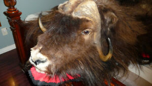 Musk Ox rug very large nice male