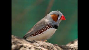 Orange beaked zebra finches - one male and female