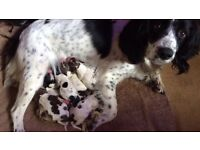 Springer spaniel pups black and white and liver and white