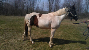 5 year old bombproof gelding