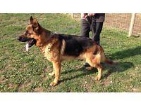 German shepherd male