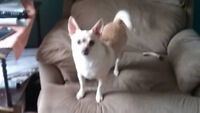 FREE chihuahua mix 2 years old