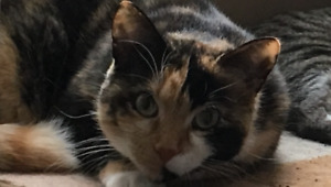 Lost Calico Cat - last seen around Sullivan Dr - REWARD OFFERED