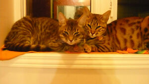 2 beautiful and smart adult cats for a real cat lover