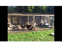 Chickens free to good home