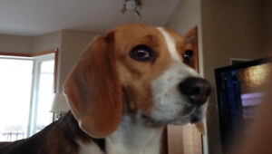 Lost Beagel, KYLIE, is missing. Have you seen this dog?