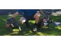 blue kc registered staffordshire bull terrier pupps staff staffy excellent pedigree
