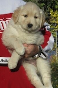 Golden Retrievers for sale and 1 male Morkie as well for $650.00