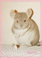 Two chinchillas (beige and grey) with cage etc.