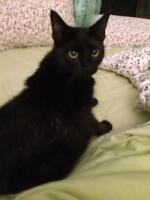 """Young Male Cat - Domestic Short Hair-black: """"Pepite"""""""