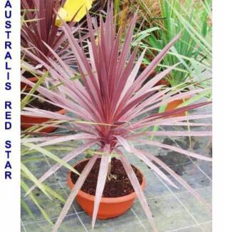 ASSORTED VARIETIES OF CORDYLINE GARDEN PLANTS Reservoir Darebin Area Preview