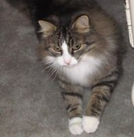 LOST Male Tabby Cat Since June 21, 2012