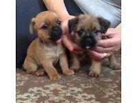 Pug cross Yorkshires