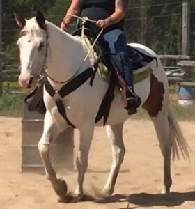 15yo bombproof 15hh medicine hat Paint Horse mare with saddle