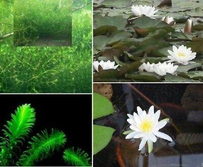 Teichpflanzen Set D grüne Pflanzen für den Teich immergrüne Unterwasserpflanzen