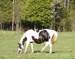 Very Well Bred APHA reg. 12 year old Broodmare or Project