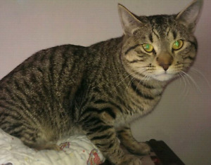 """Young male tabby """"Bruce"""""""