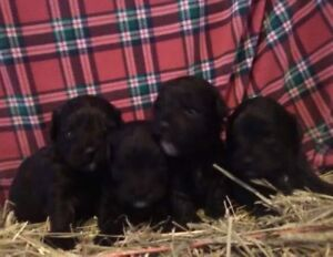 Bichon Shih Tzu Puppies - Available for Christmas