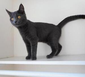 """Young Female Cat - Domestic Short Hair: """"Charlee"""""""