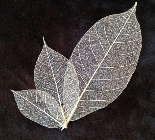 75 Chrome Shop >> Skeleton Leaves: Crafts | eBay