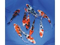 POND FISH FOR SALE - KOI, TENCH, ORFE, GOLDFISH, SHUBUNKINS AND MUCH MORE!
