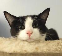 """Adult Male Cat - Domestic Short Hair-black and white: """"Rango"""""""