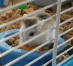 "Young  Small & Furry - Hamster: ""Hamlet"""