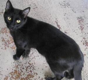 "Young Male Cat - Domestic Short Hair: ""Bear"""