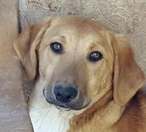 "Young Female Dog - Yellow Labrador Retriever: ""POGO"""