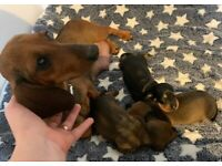 3 Miniature Dachshund puppies are looking for homes