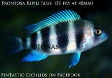 Frontosa Kipili Blue....wild caught breeders. Ormeau Gold Coast North Preview