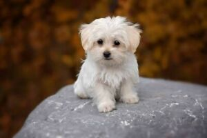 Wanted: WANTED: Small female puppy WANTED
