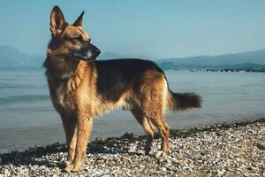 Wanted Female German Shepard puppy or dog