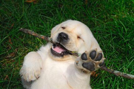 Wanted: wanted bulldog, pug or labrador puppy.