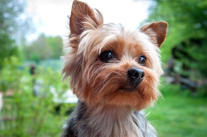 Image result for yorkshire terrier