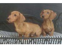 dachshund boy for saale
