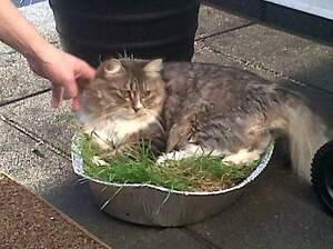 Lost cat in castledowns
