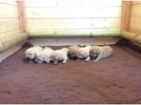 Fox red pups