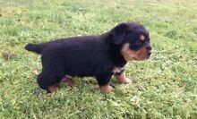 WANTED ROTTWEILER Kogarah Rockdale Area Preview
