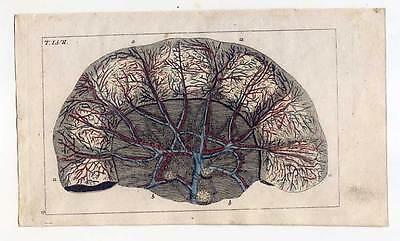Adern-Eingeweide-Medizin-Anatomie - Kupferstich 1810 G. T. Wilhelm