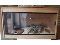 Corn Snake For Sale. Ready to go today! Urgently needs a new home.