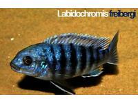 F1 Labidochromis freibergi likoma